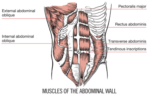 abdominis (tva) are all considered part of the deep layer in neumann's  model or as global muscles in bergmark's research, and comprise the  abdominal