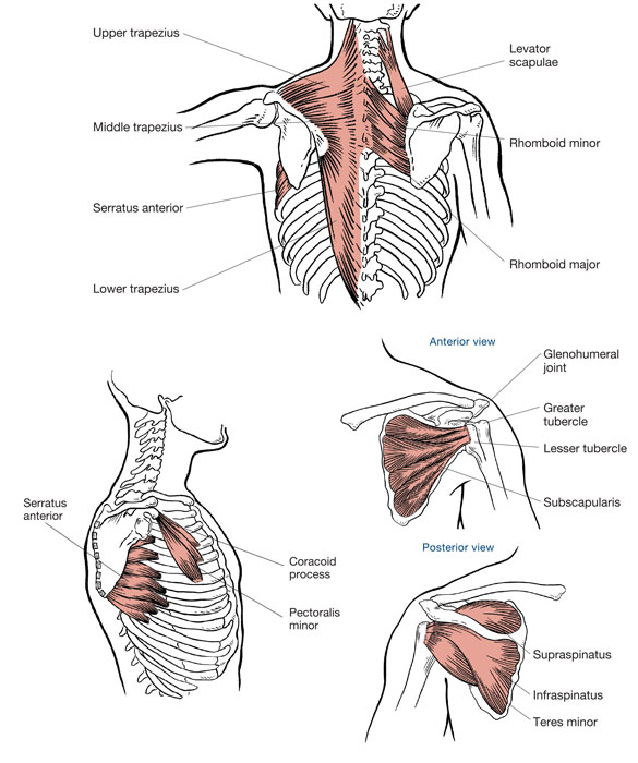 Ace Prosource July 2016 Functional Anatomy Series The Shoulders