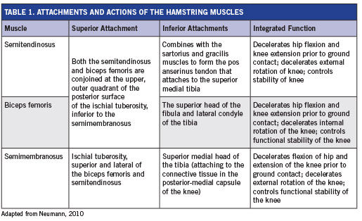 Hamstrings Anatomy and Fitness Training | ACE ProSource
