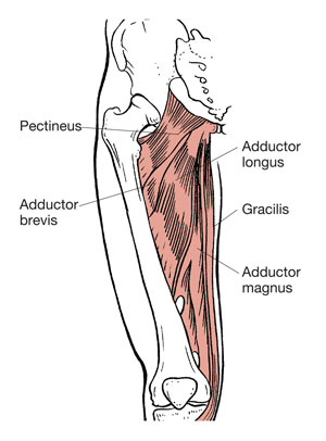 ACE - ProSource™: May 2016 - Functional Anatomy Series: The Adductors