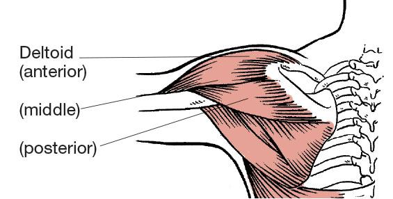anterior deltoid muscles - photo #30