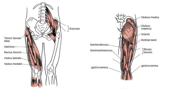 Muscles That Move the Leg | Bindi Delaney | Exam Preparation Blog | 11/4/2013